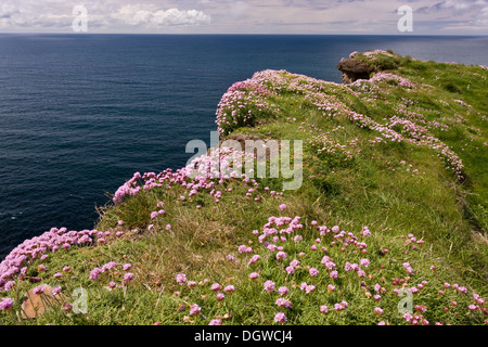Cliff-top Thrift, Armeria maritima on the Cliffs of Moher, Co. Clare, The Burren, Ireland - Stock Photo