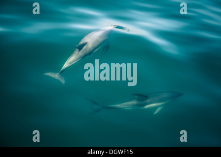 Couple of Dolphins in the Strait of Gibraltar. - Stock Photo