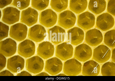 Western Honey Bees (Apis mellifera), freshly laid eggs in the brood cells of a honeycomb, Thuringia, Germany - Stock Photo