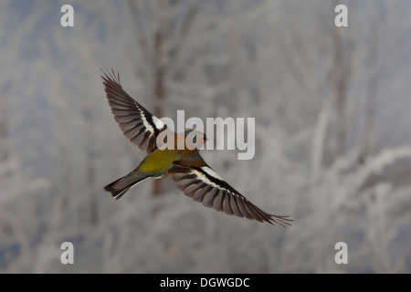 Common Chaffinch (Fringilla coelebs) in flight, winter, Erfurt, Thuringia, Germany - Stock Photo