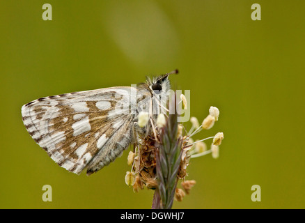 Olive Skipper, Pyrgus serratulae roosting on plantain in cold weather. Bulgaria. - Stock Photo