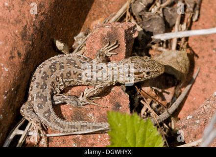 Female Sand Lizard, Lacerta agilis basking on old tiles at Higher Hyde, Dorset. - Stock Photo