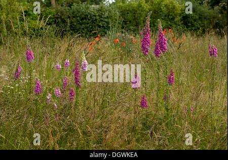 Foxgloves, Digitalis purpurea in wildflower meadow in a wildlife garden, Dorset. - Stock Photo