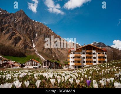 Crocus meadow in spring, Samnaun, Mt Piz Ot, Albula Alps, Samnaun, Engadin, Unterengadin, Canton of Graubünden, - Stock Photo