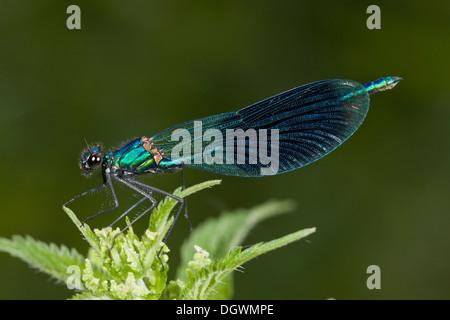 Male Banded Demoiselle, Calopteryx splendens = Agrion splendens, perched on riverside vegetation. - Stock Photo