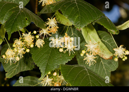 Large-leaved Lime, Tilia platyphyllos in flower. Rich nectar source. Uncommon native in UK. - Stock Photo