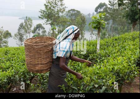 Female tea picker picking leaves from a tea plant (Camellia sinensis), Dalhousie, am Maskeliya Reservoir, Zentrales - Stock Photo