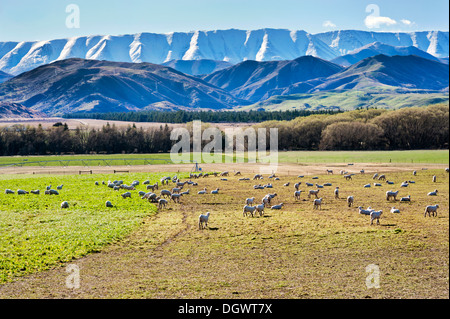 Sheep grazing adjacent to Highway 8, with a mountain backdrop, near Tarras, New Zealand. - Stock Photo