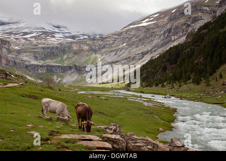 Ordesa National Park, Pyrenees - cattle grazing in the high glaciated valley. Spain. - Stock Photo