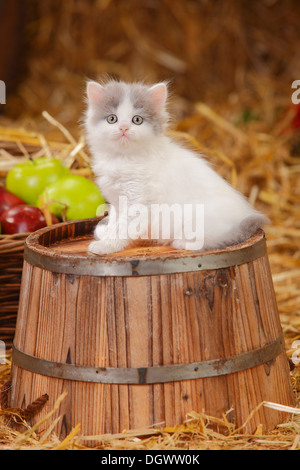 British Longhair, kitten, blue-van, 6 weeks |Britisch Langhaar, Kaetzchen, blue-van, 6 Wochen - Stock Photo