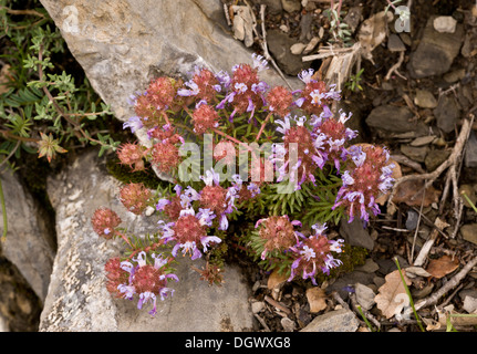 An unusual plant at mid-altitude in the Pyrenees, Coris monspeliensis. Spain. - Stock Photo
