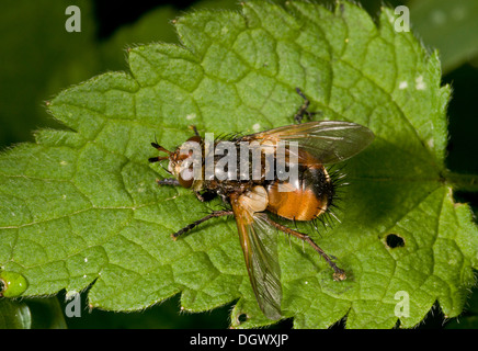 A parasitic tachinid fly, Tachina fera; the larvae are internal parasites of caterpillars. - Stock Photo
