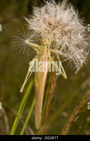 Male Great green bush-cricket, Tettigonia viridissima on dandelion 'clock'. - Stock Photo