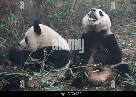 Giant Pandas (Ailuropoda melanoleuca) at Chengdu Panda Breeding and Research Center, Chengdu, China, People's Republic - Stock Photo