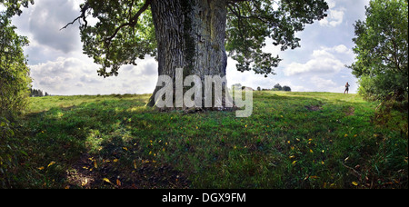 Natural monument, 1000 year old oak tree near Hexenagger-Altmannstein in Altmuehltal Nature Park, Bavaria - Stock Photo