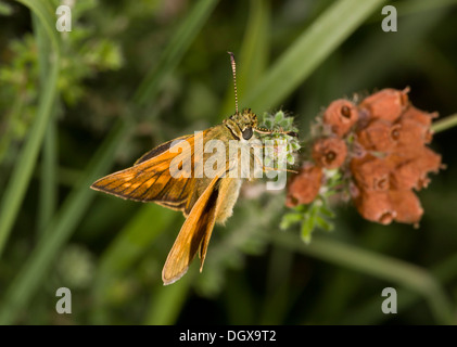 Large Skipper butterfly, Ochlodes sylvanus on cross-leaved heath. - Stock Photo