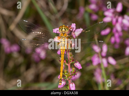 Black Darter, Sympetrum danae - female perched by heathland bog, Dorset. - Stock Photo