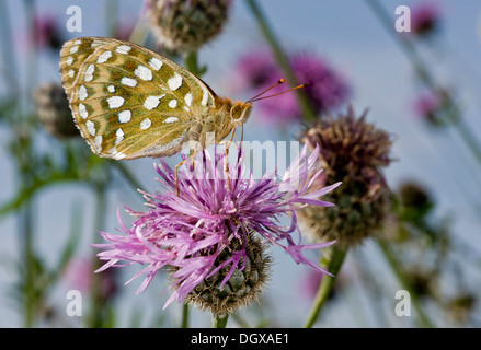 Dark Green Fritillary butterfly, Argynnis aglaja feeding on Greater Knapweed, on chalk downland, Hants. - Stock Photo