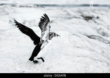Brunnich's Guillemot or Thick-billed Murre (Uria lomvia) on floating ice, Herald Island, Chukotka, Russian Far East - Stock Photo