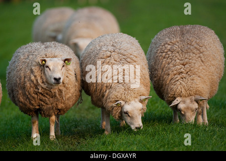 Domestic sheep (Ovis orientalis Aries), Texel, The Netherlands, Europe - Stock Photo