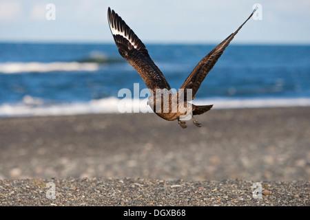 Great Skua (Stercorarius skua) in flight, Joekulsarlon, southern Iceland, Europe - Stock Photo