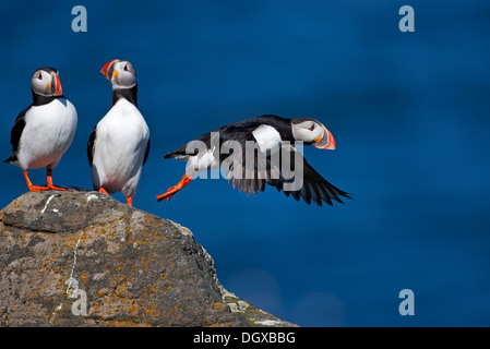 Atlantic Puffins (Fratercula arctica), Flatey Island, Iceland, Europe - Stock Photo