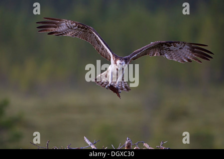 Osprey or Sea Hawk (Pandion haliaetus) with nesting material approaching to land on an eyrie, Kajaani sub-region, - Stock Photo