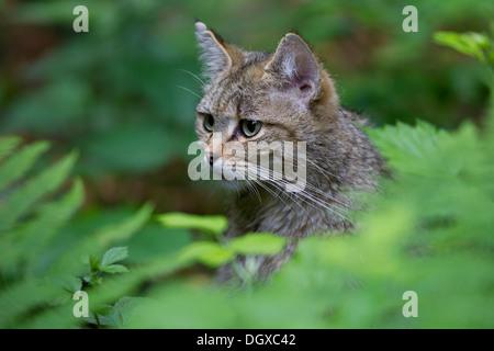Wildcat (Felis silvestris), portrait, Bavarian Forest National Park game reserve, Neuschönau, Lower Bavaria, Bavaria, - Stock Photo