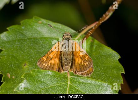 Large Skipper butterfly, Ochlodes sylvanus = Ochlodes venata basking in the sun, Dorset. - Stock Photo