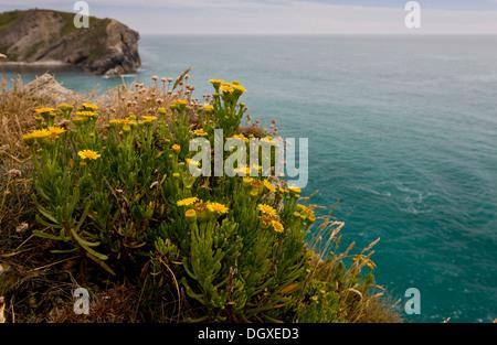 Golden-samphire, Inula crithmoides on the Dorset coast at Lulworth Cove. - Stock Photo
