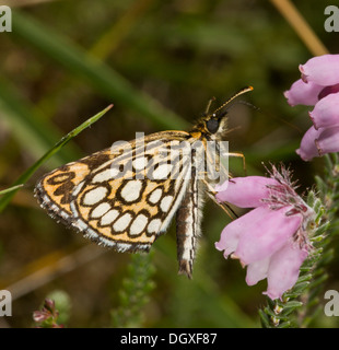 Large Chequered Skipper, Heteropterus morpheus, feeding on Cross-leaved heath. Heathland, Normandy, France. - Stock Photo