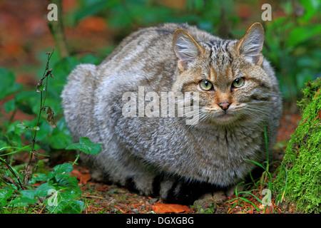 Wild Cat (Felis sylvestris), enclosure area, Bavarian Forest National Park, Bavaria - Stock Photo