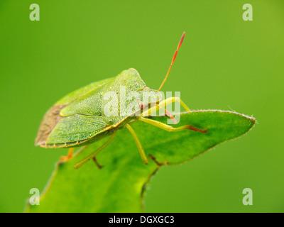 Green shield bug (Palomena prasina) - Stock Photo