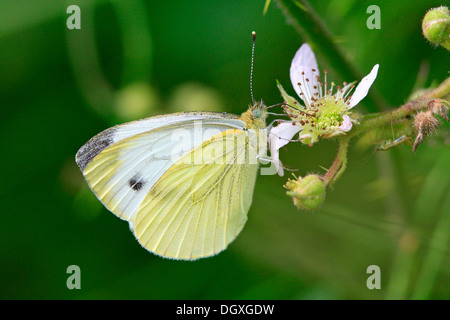 Green-veined white (Pieris napi) - Stock Photo