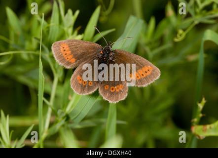 Mountain ringlet, Erebia epiphron basking in the sun. Auvergne. - Stock Photo