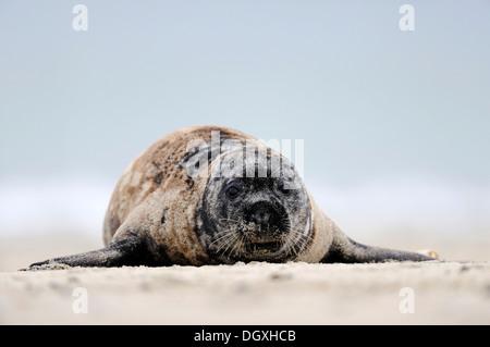Gray seal (Halichoerus grypus), lying on a sand bank, ocean island, Helgoland, Schleswig-Holstein, Europe - Stock Photo
