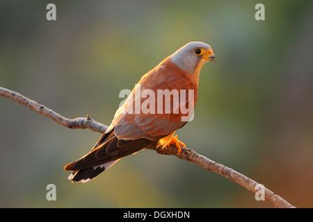 Lesser Kestrel (Falco naumanni), male, perched on a branch - Stock Photo