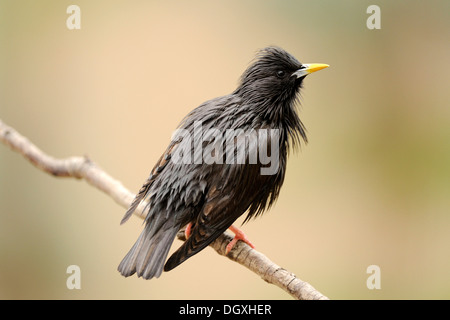 Spotless Starling (Sturnus unicolor), perched on branch - Stock Photo