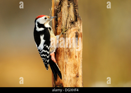 Middle Spotted Woodpecker (Dendrocopos medius), on tree trunk, searching of food - Stock Photo