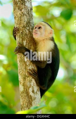 White-headed or White-faced Capuchin (Cebus capucinus), Manuel Antonio National Park, Costa Rica, Central America - Stock Photo