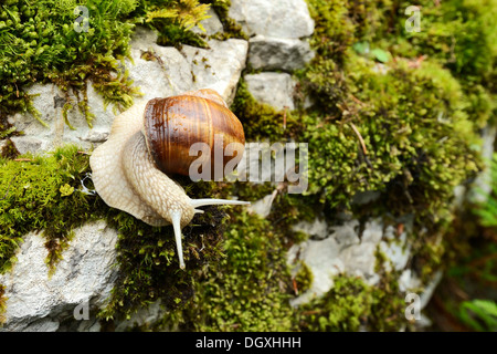 Burgundy snail, Roman snail, edible snail or escargot (Helix pomatia), Buergenstock, Switzerland, Europe - Stock Photo