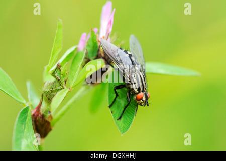 Common Flesh Fly (Sarcophaga carnaria), perched on leaf, Menzingen, Switzerland, Europe - Stock Photo