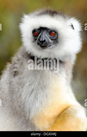 Portrait, Diademed Sifaka (Propithecus diadema), Madagascar, Africa - Stock Photo