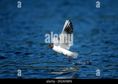 Black-headed Gull (Chroicocephalus ridibundus, Syn. Larus ridibundus), during take-off, Schmaler Luzin lake, Feldberg - Stock Photo