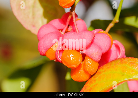 Pink flowers and orange fruit on the Spindle Tree (Euonymus europaens) - Stock Photo