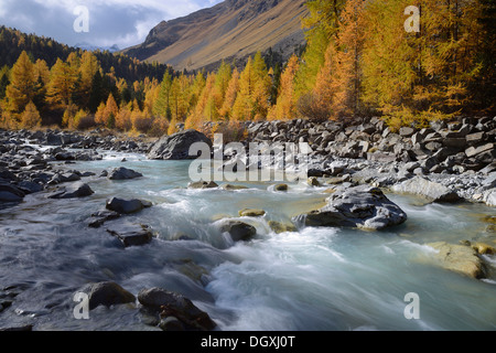 A larch forest (Larix) in autumn on Roseg river, Pontresina, canton of Grisons, Engadin, Switzerland, Europe - Stock Photo