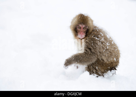 Young Japanese Macaque or Snow Monkey (Macaca fuscata), standing in the snow, Affenpark Jigokudani, Nagano Präfektur, - Stock Photo
