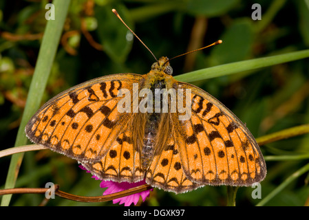 Dark Green Fritillary, Argynnis aglaja settled. - Stock Photo