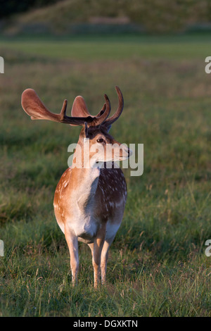 Fallow deer (Cervus dama) - Stock Photo