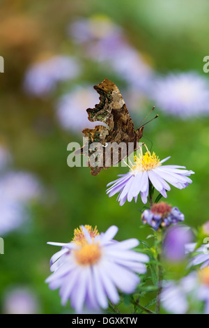 Comma butterfly (Polygonia c-album) UK - Stock Photo